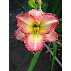 Daylilies Frosted Vintage Ruffles Set of 5 Roots