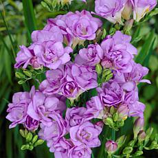 Freesias Double Blooming Lavender - 25 Bulbs