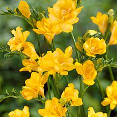 Freesias Double Blooming Yellow - 25 Bulbs
