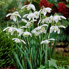 Galanthus Snowdrops Set of 25 Bulbs