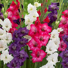 Gladiolus Tropical Passion Blend Set of 25 Bulbs