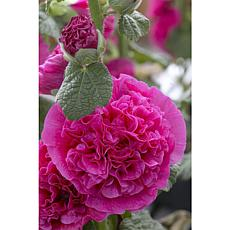 Hollyhocks Double Pink Set of 5 Roots