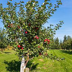 Honeycrisp Apple Tree Root Stock