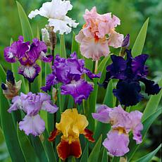 Iris Germanica Breeder's Choice Mixture Set of 7 Roots