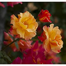 """Joseph's Coat"" Climbing Rose Root Stock"