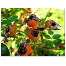 "Kathie McCurdy 'Rose Hips' Canvas Art Print - 32"" x 24"""