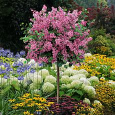 Leaf & Petal Designs 1-piece Dwarf Fragrant Lilac Tree