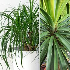 Leaf & Petal Designs 1-piece Ponytail Palm