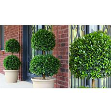 Leaf & Petal Designs 1-piece Two-Ball Eugenia Topiary