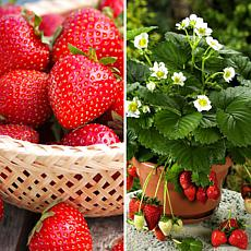 Leaf & Petal Designs 24-piece Fragaria Strawberries