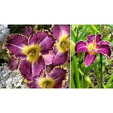 Leaf & Petal Designs 3-piece Raspberry Eclipse Daylilies