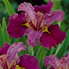 Louisiana Iris Jack Attack Set of 3 Roots