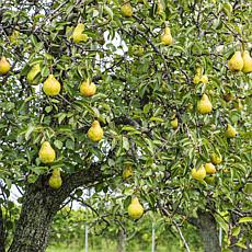 Pear Tree Kieffer 1 Root Stock