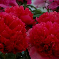 Peonies Command Performance Set of 1 Root