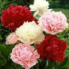 Peonies Mixed Colors Set of 3 Roots