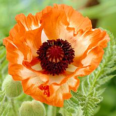 Poppies Orange Set of 5 Roots