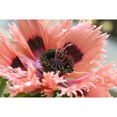 Poppies Pink Ruffles Set of 5 Roots