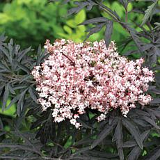 """Proven Winners® Sambucus Laced Up® 4"""" Potted Rocketliners®"""