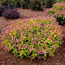 "Spiraea Rainbow Fizz™ 4"" Potted Rocketliners® Set of 3 Plants"
