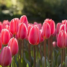 Tulips Cosmopolitan Set of 12 Bulbs