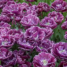 Tulips Dream Touch Set of 12 Bulbs