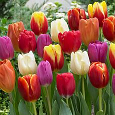 Tulips Triumph Mixture Set of 15 Bulbs