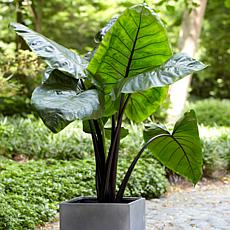 Van Zyverden Black Stem Upright Elephant Ears
