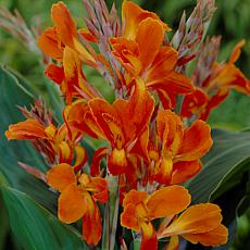 Van Zyverden Cannas Stadt Fellbach Bulbs 5-pack