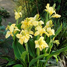 Van Zyverden Cannas Yellow King Humbert Bulbs 5-pack