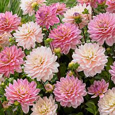 Van Zyverden Dahlias Pretty In Pink Blend Bulbs 7-pack