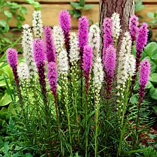 Van Zyverden Liatris Alba and Spicata Mixture - Set of 25 Roots