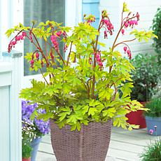 VanZyverden Bleeding Heart Kit w/ Planter, Planting Medium and Root