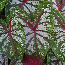 VanZyverden Caladiums Fancy Leaf Carousel Bulbs 6-Pack