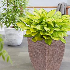 VanZyverden Hosta Gold Patio Kit w/ Planter, Planting Medium & Roots