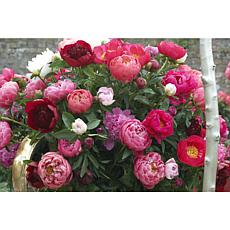 VanZyverden Peonies Mixed Varieties 6-piece Root Set