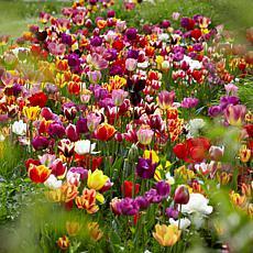 VanZyverden Tulips Economy Medley of Varieties 100-piece Bulb Set