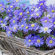 Wind Flowers Anemone Blue Shades Set of 100 Bulbs