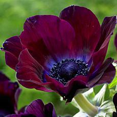 Wind Flowers Anemone Meron Bordeaux Set of 25 Bulbs