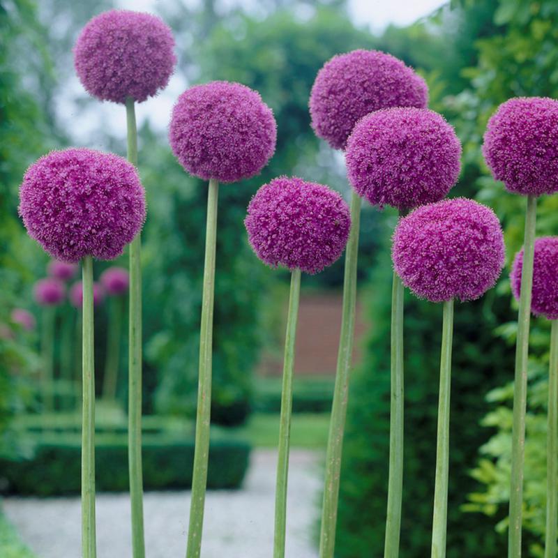 Allium Giganteum Set of 1 Bulbs