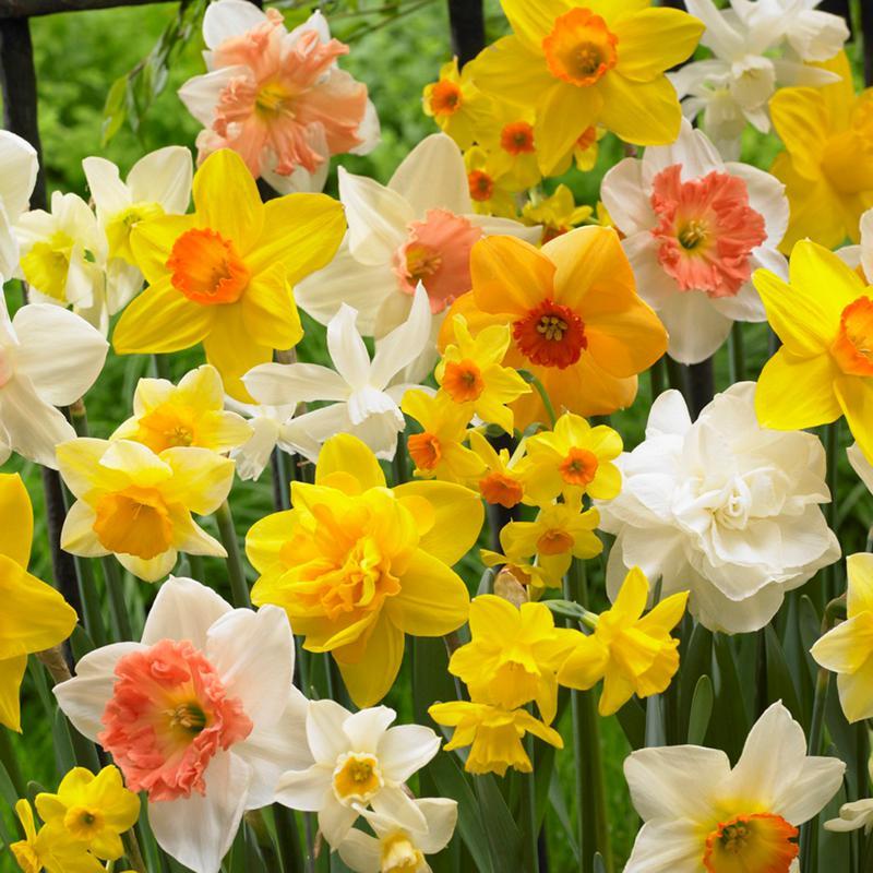 Daffodils Kitchen Sink Mixture Set of 15 Bulbs